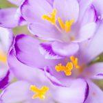 krokusy polana chocholowska6 150x150 Makrofotografia