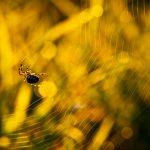 pajak krzyzak2 150x150 Makrofotografia
