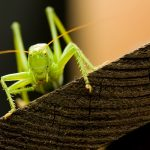 pasikonik zielony2 150x150 Makrofotografia