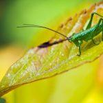 pasikonik zielony3 150x150 Makrofotografia